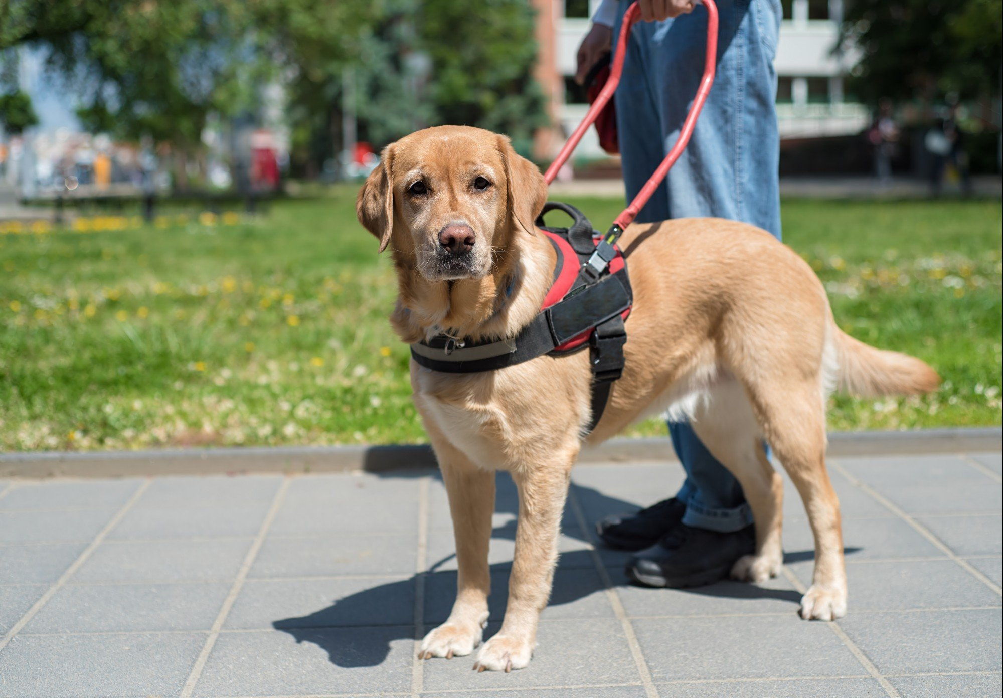 Service Animals - When a Pet Becomes a Medical Device